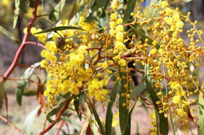 Rushworth wildflowers - wattle